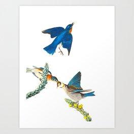 Blue Bird John James Audubon Vintage Scientific Bird Illustration Art Print