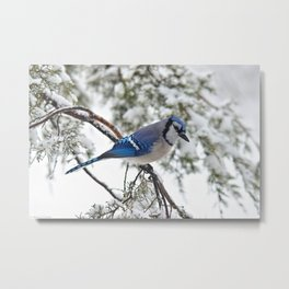 Beautiful Blue Jay Metal Print