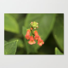Kohleria from Bud to Bloom Canvas Print