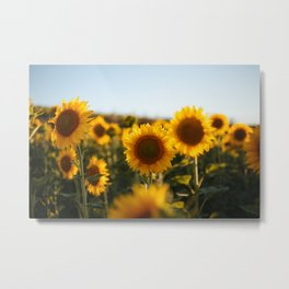 Sunflower's Season (II) Metal Print