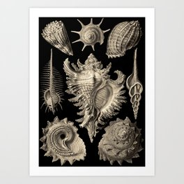 Ernst Haeckel Prosobranchia Sea Shells Art Print