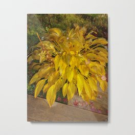 yellow leaves of Hosta Metal Print