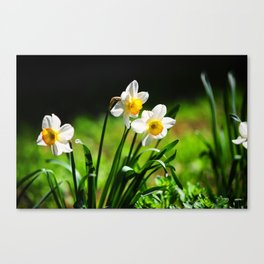 Beautiful Daffodils in Spring Bloom Canvas Print
