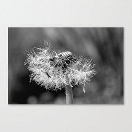 Bokehlicious black & white dandelion Canvas Print