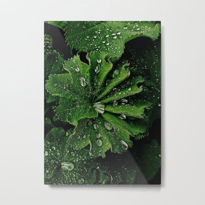 Dew On Rose Scented Geranium Leaves Metal Print