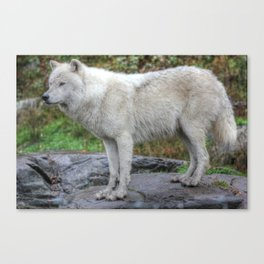 Arctic Wolf HDR Canvas Print