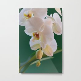 Blossoming White Orchid Flower on Green Background Metal Print