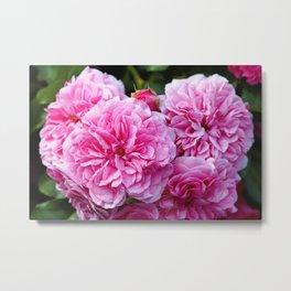 Beautiful pink  Provence rose Metal Print