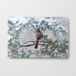 Snow on His Back (Northern Cardinal) Metal Print