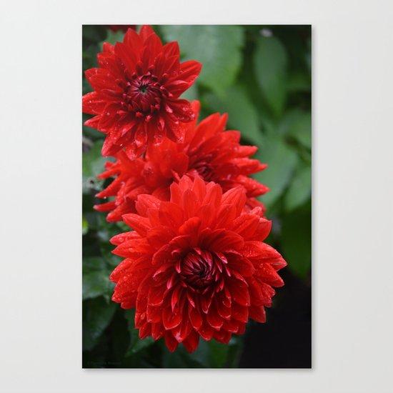 Fresh Rain Drops - Red Dahlia Canvas Print