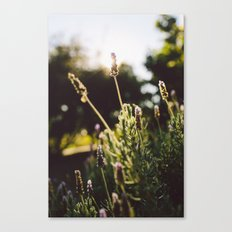 Lavender no. 2 Canvas Print