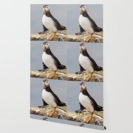 Wildlife ocean puffin birds portrait Wallpaper