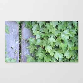 Ivy on Wooden Fence Canvas Print