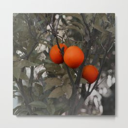 Three oranges on an orange tree Metal Print