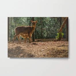 Deer mother feeding son in the forest of Nara. Metal Print