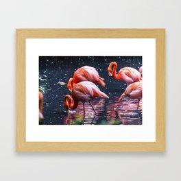 Pink flamingos in a pond Framed Art Print