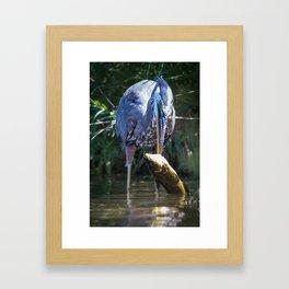 A Great Blue Heron Kills Huge Fish Framed Art Print