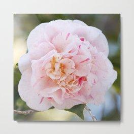 Strawberry Blonde Camellia in Bloom Metal Print