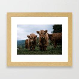 Scottish Highland Cattle Calves - Babies playing II Framed Art Print