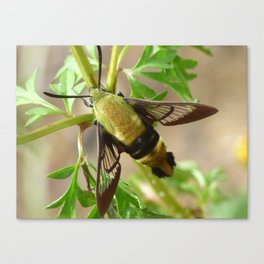 snowberry clearwing moth 2017 Canvas Print