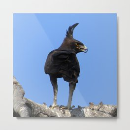 Long Crested Eagle Metal Print