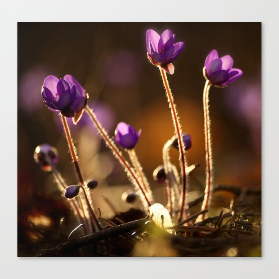 Hepaticas in The Glare Of The Sun Canvas Print