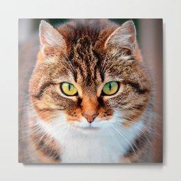 Portrait of Manx Cat Green-Eyed Metal Print