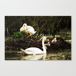 Swans and Cygnets Canvas Print