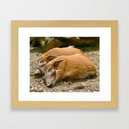 Red River Hogs taking a nap Framed Art Print