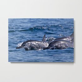 Group of bottlenose dolphins Metal Print
