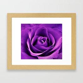Purple Passion Rose Framed Art Print