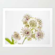 Astrantia major Art Print