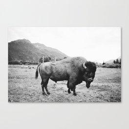 Alaska Bison Canvas Print