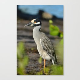 Yellow Crown Night Heron Canvas Print