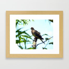 Mourning Dove Framed Art Print