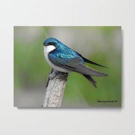 Male Tree Swallow II Metal Print