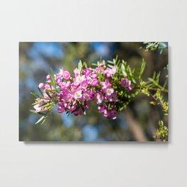 Small Pink Boronia, Muogamarra Nature Reserve, Sydney Metal Print
