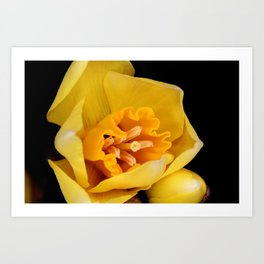 Daffodil or Spring Narcissus Art Print