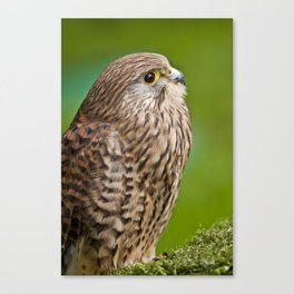 Common Kestrel (Falco tinnunculus) Canvas Print
