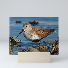 Bird on the Beach / A Solitary Dunlin Mini Art Print