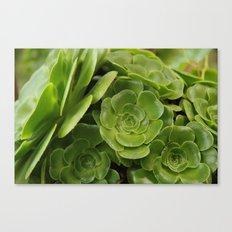 Aeonium plant 1838 Canvas Print