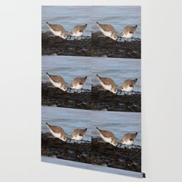 A Pair of Sanderlings Shares: A Meal is Better When Eaten Together Wallpaper