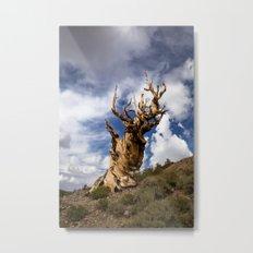 Ancient Bristlecone Pine Metal Print