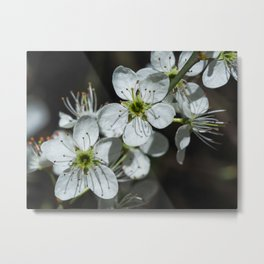 Blackthorn Blossom Metal Print