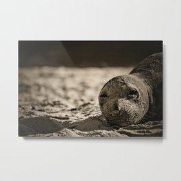 Elephant seal face close up in sepia tone Metal Print