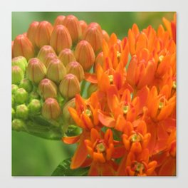 Butterfly Weed Canvas Print