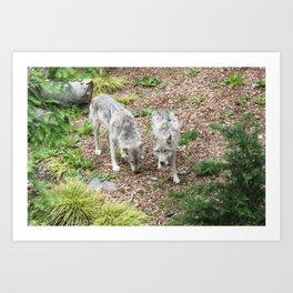 Two Gray Wolves Art Print