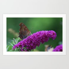 Comma butterfly on Butterfly Bush Art Print