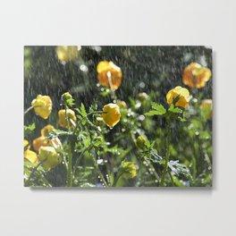 Trollius europaeus spring flowers in the rain Metal Print