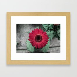 A Full Frontal Closeup of a Red Daisy Framed Art Print